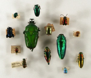 Beetles with metallic and bright colours. Courtesy of the Zoological Museum, Copenhagen University.