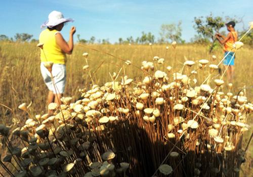 Golden grass fields in the Jalapão region of Brazil