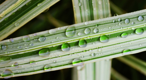 Drops on bamboo