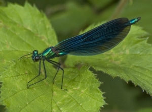 Living Jewel: Stunning colours and aerial acrobatics of the Damselfly. Image: Andrew Lee